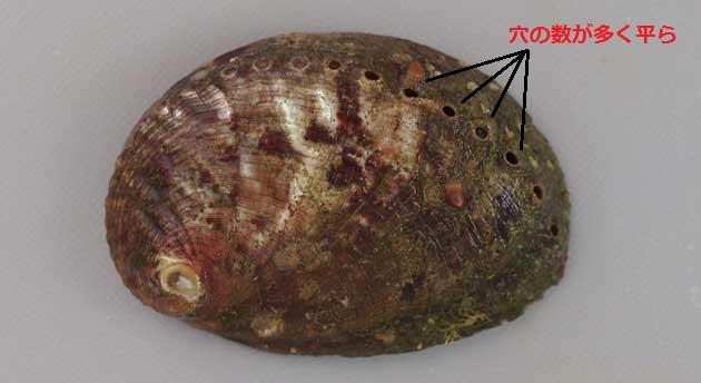 トコブシ貝殻